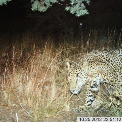 Automatic wildlife cameras snapped this photo of a male jaguar on a nightly walk in the Santa Rita Mountains on October 25. (Photo: USFWS/UA/DHS)