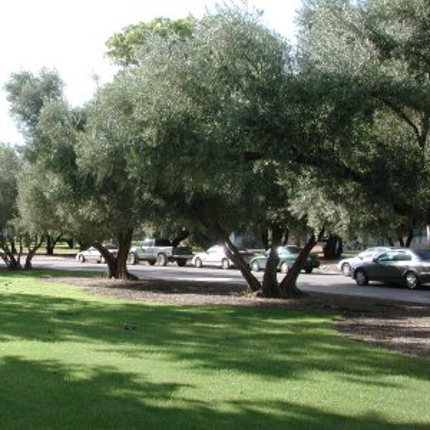All the olive trees on the western part of campus are included as heritage trees, and the oldest are north of the Arizona State Museum. Planted by Robert Forbes in the late 1800's, they were part of his trials of arid lands crop plants brought to Tucson from around the world. (Photo courtesy Campus Arboretum)