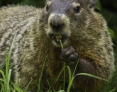 Q&A: Will Groundhog Say Bundle Up or Bare Down?