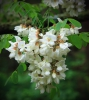 Black locusts (Robinia pseudoacacia) first flower around 450GDD